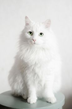 Norwegian Forest Cat by Zolfyer