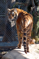 Tiger Stock 3 [2014] by Jaded-Night-Stock