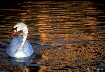 Swan Lake by gregner