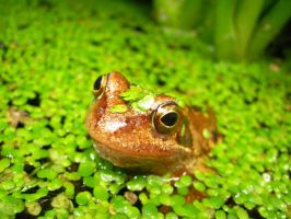 Frog in the pond weed by JohnnySix