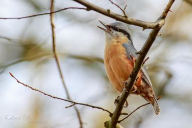Singing Nuthatch by OliverBPhotography