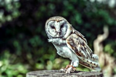 owl by nepesh
