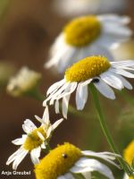Camomile by SymphonicA19