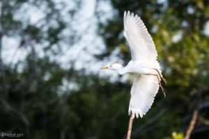 Aerobatic cattle egret by CyclicalCore