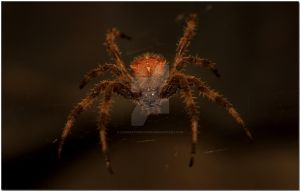 Orb Weaver I by LipCreativeStudio