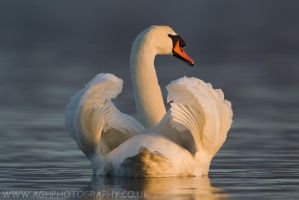 Mute Swan by Albi748