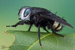 Tachinid Fly - Belvosia borealis by ColinHuttonPhoto