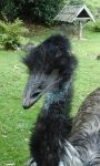 Evil Emu in Auckland Zoo by N1GHT0WL5