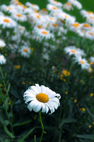 TheDaisy by diantc333