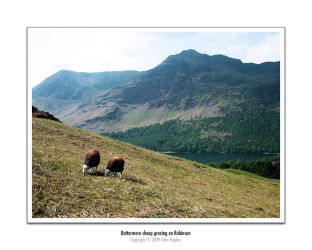 Buttermere Sheep by honz12