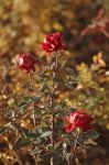 Autumn Roses by OsTin