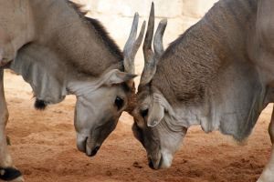 Taurotragus oryx by DSPHolthaus