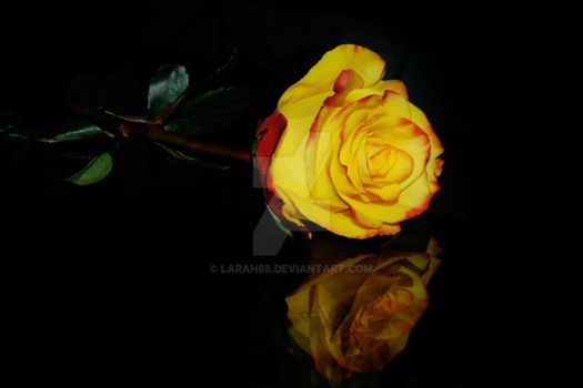 Yellow and Red Rose on Glass