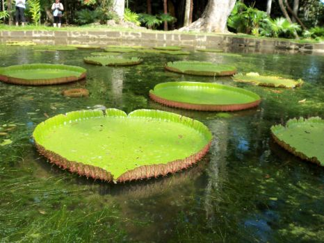 Pamplemousses Lily Pads by Makki-Summer