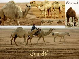 Camels pack by Comacold-stock