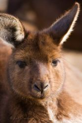 Wallaby Portrait by KarlDawson
