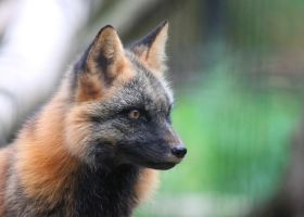 Profile of a Cross Fox by Jack-13