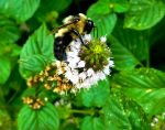 Insect Stock - Bumblebee 1 by Carol-Moore
