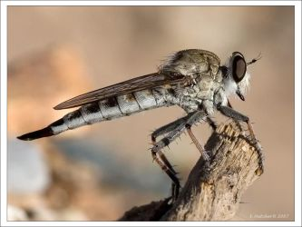 Robberfly AZ 2 by Hatch1921