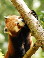 Babu - Red Panda by Shadow-and-Flame-86