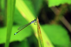 Dragonfly (blue and black) by Jaiiko
