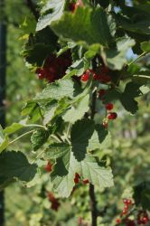 red currant by Allexiiale