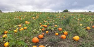 Pumpkin Patch by Archangelical-Stock