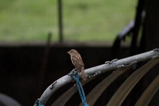 Little sparrow by Mimgroth