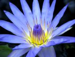 Water Lily by Rinter