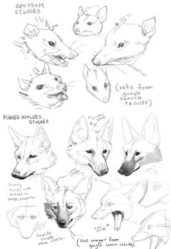 Opossom and Maned Wolf Studies by HJeojeo