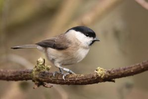 Marsh Tit 2 6-1-18 by pell21