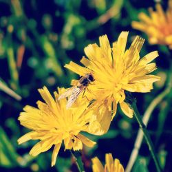 Yellow flower and Bee by pueng2311