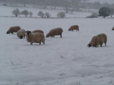 Domestic Sheep in the Snow 2 by Captain-Art-hero