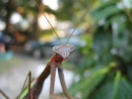Up Close, Praying Mantis Style by Sunspot01