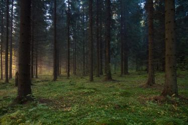 Spruce forest by Korpinarhi