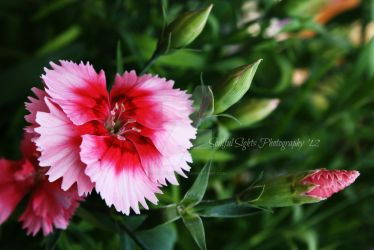 Sweet William I by SoulfulSights