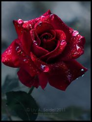 First Rose by Lilyas