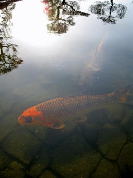 Black and Orange Koi Carp by Lissou-photography