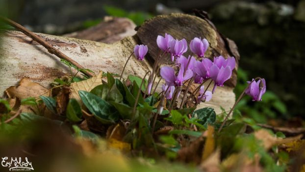 Cyclamen by EmMelody