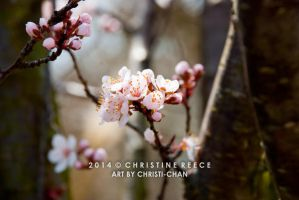 2014 Cherry Blossoms by christi-chan