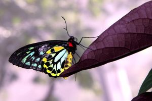 Ornithoptera priamus, Male by TheSleepyRabbit