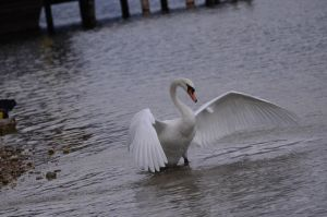 Swan Wings 1 by Lakela