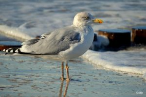 Herring Gull by Lionpelt-66