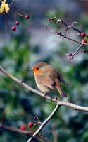 Robin in the Holly Bush by red-sunflower
