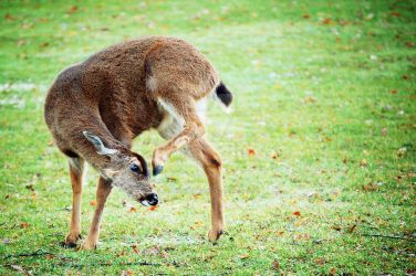 Deer I by coralphotography