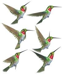 Humming Birds-1 PNG Stock by Roy3D