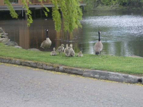 Family of Geese by 09ShootIt09
