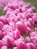 Tulips 28 by whisper-n-the-wind