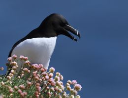 Razorbill by NurturingNaturesGift