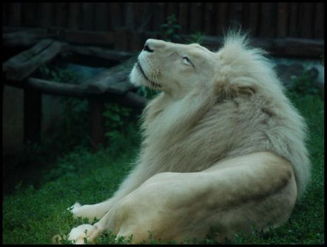 white african lion by morho